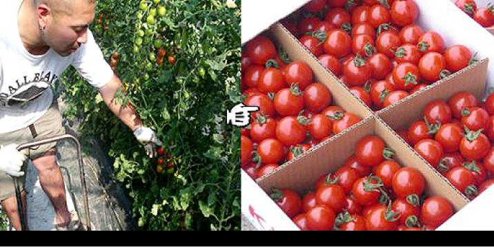 太陽の味ミニトマトついに収穫