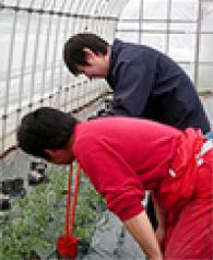 ついでにミニトマトの定植